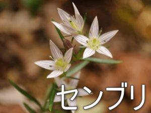 センブリの花の画像