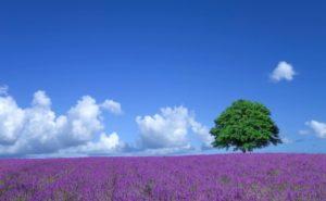 ラベンダー畑の画像